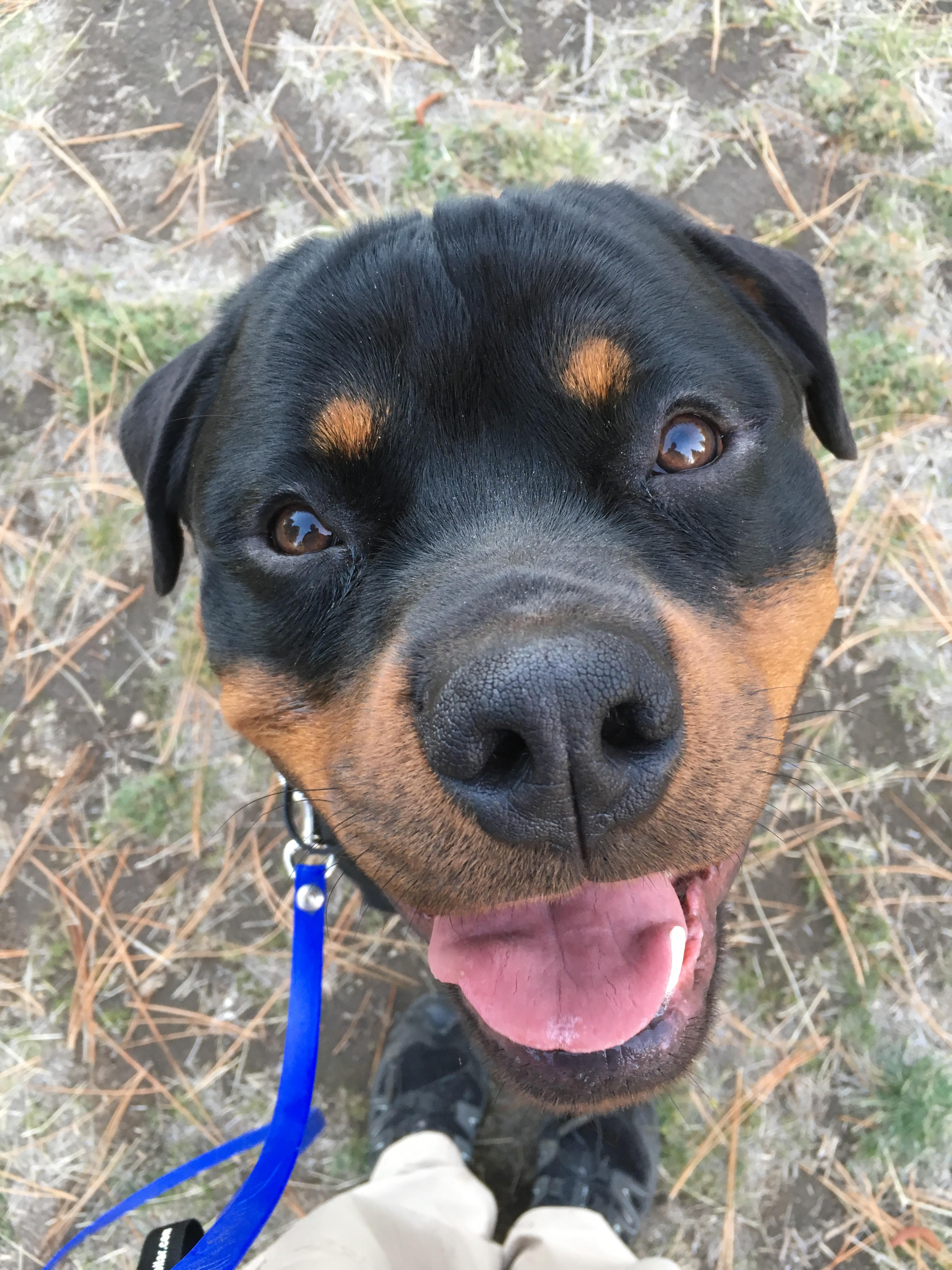Rudy the Rottweiler