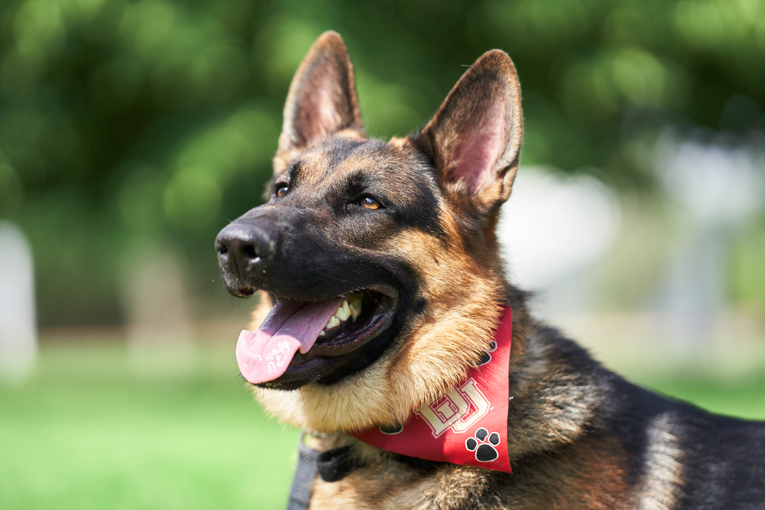 German shepherd dog behavior training