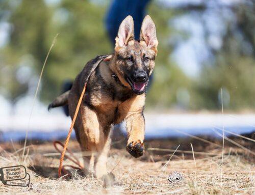 Ethical German Shepherd Breeders