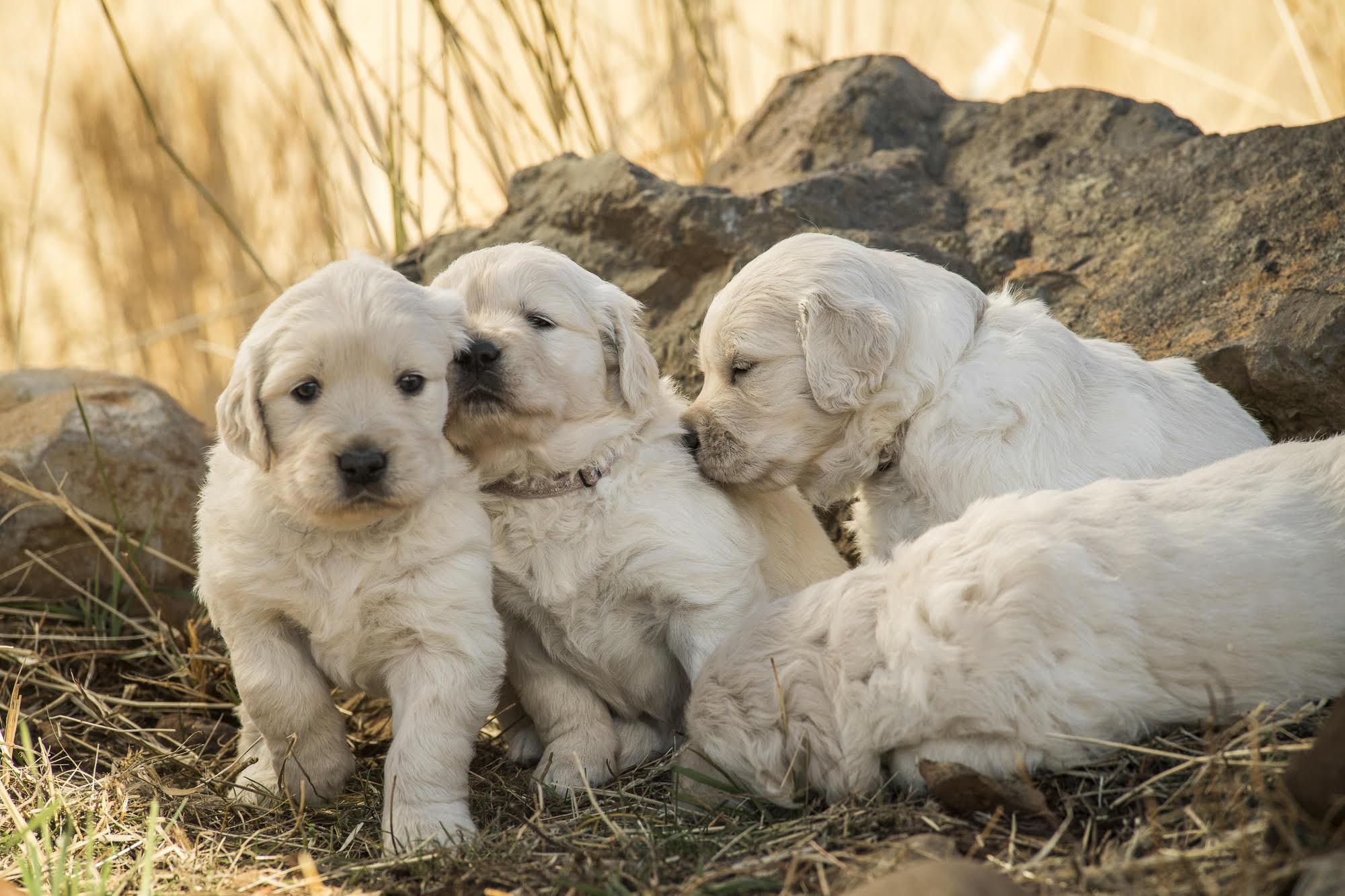 Council House Golden Retriever puppies