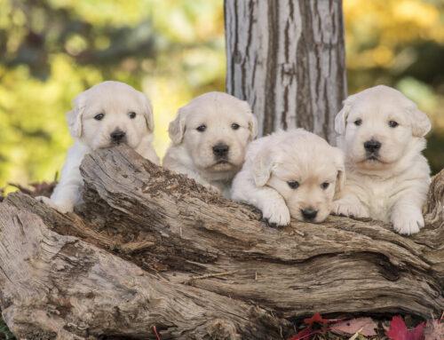 *NEW* Puppy Selection Service (Boise, Idaho)