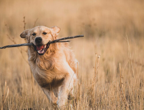 Reputable Golden Retriever Breeders in the Boise area