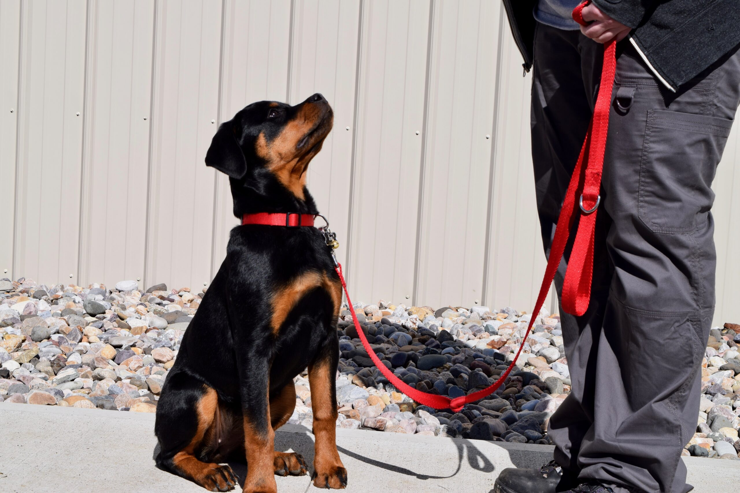 Rottweiler puppy leash training
