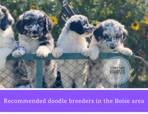 Aussiedoodle, Bernedoodle and Goldendoodle breeders in the Boise area