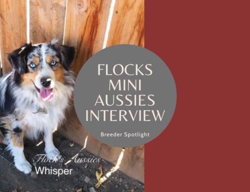 Breeder Spotlight: Flocks Mini Aussies in Otis Orchards, WA